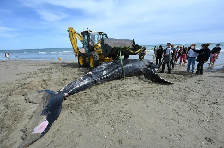 A dead humpback whale is evacuated after washing up on Carnon beach near La Grande-Motte, southern France