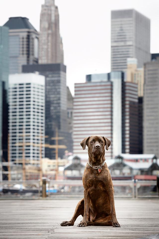 <p>This Brooklyn Rottweiler enjoys uninterrupted views of downtown Manhattans skyline while hanging out at the parks near the Brooklyn Bridge. (Photo: Mark McQueen/Caters News) </p>