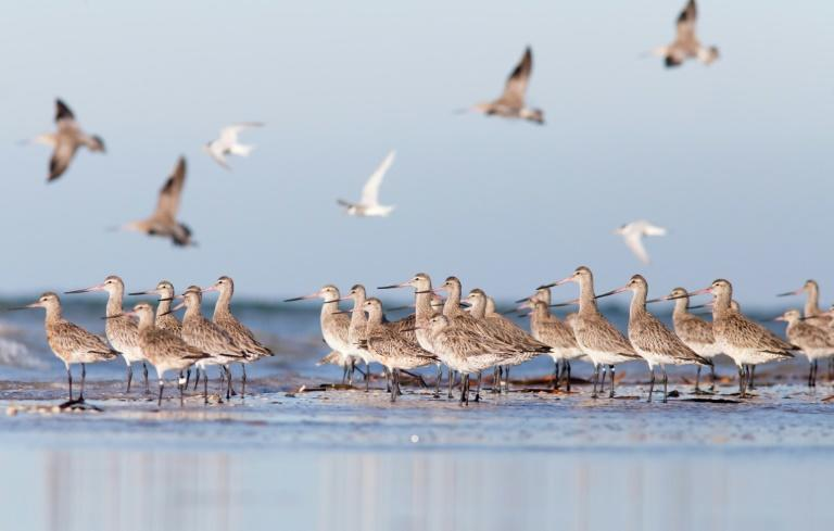 Bar-tailed godwits in South Australia can fly upward of 11,500 kilometres (7,145 miles) without stopping