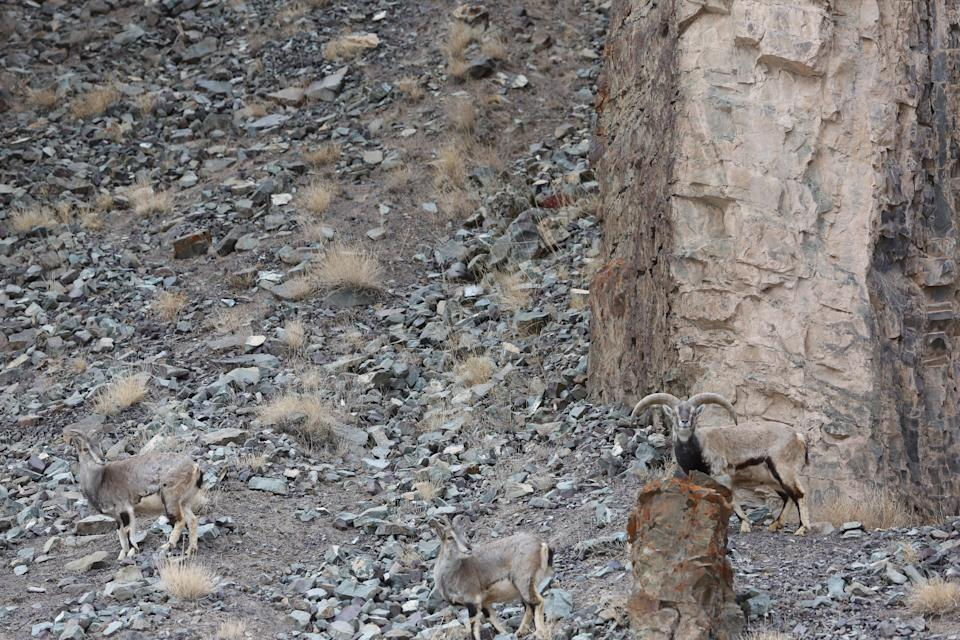 Can you spot the snow leopard? (Picture: Caters)