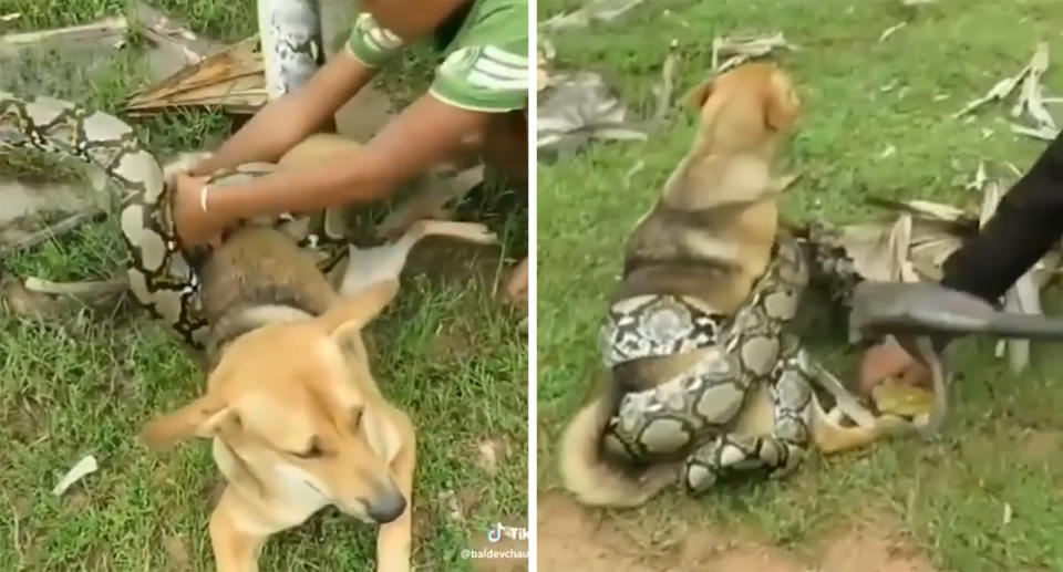 Boys in China boys fight off huge boa constrictor snake to save their dog.