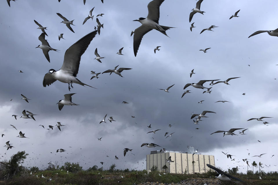 In this photo provided by the U.S. Fish and Wildlife Service, a flock of snooty terns gather near the only building left standing on the Johnston Atoll National Wildlife Refuge on March 24, 2019. An invasive species known as the yellow crazy ant has been eradicated from the remote U.S. atoll in the Pacific. The U.S. Fish and Wildlife Service announced Wednesday, June 23, 2021, that the ants have been successfully removed from the refuge. (Eric Baker/U.S. Fish and Wildlife Service via AP)