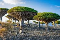 Dragon's blood (Dracaena cinnabari) trees at the top of Dixam mountain on the Yemeni island of Socotra