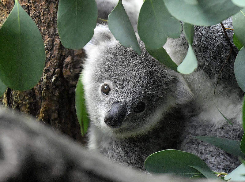 A young koala bear watches between eucalyptus leaves in a zoo in Duisburg, Germany, Friday, Sept. 28, 2018. (AP Photo/Martin Meissner)