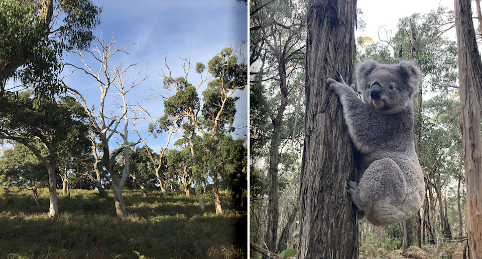 Koalas were moved from denuded forest (left) to healthier forest (right). Source: DELWP