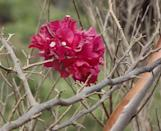 """<p>A fast-growing shrubby vine that can grow 40 feet long, Bougainvillea uses its thorny stems to support itself on nearby plants or structures. The colorful display is actually made up of large, papery bracts that surround the tiny flowers, and you definitely don't want this plant's <a href=""""https://web.archive.org/web/20190618234353/http://www.lni.wa.gov/Safety/Research/Dermatitis/files/phytoderm.pdf"""" rel=""""nofollow noopener"""" target=""""_blank"""" data-ylk=""""slk:sap"""" class=""""link rapid-noclick-resp"""">sap</a> to touch your skin.</p>"""