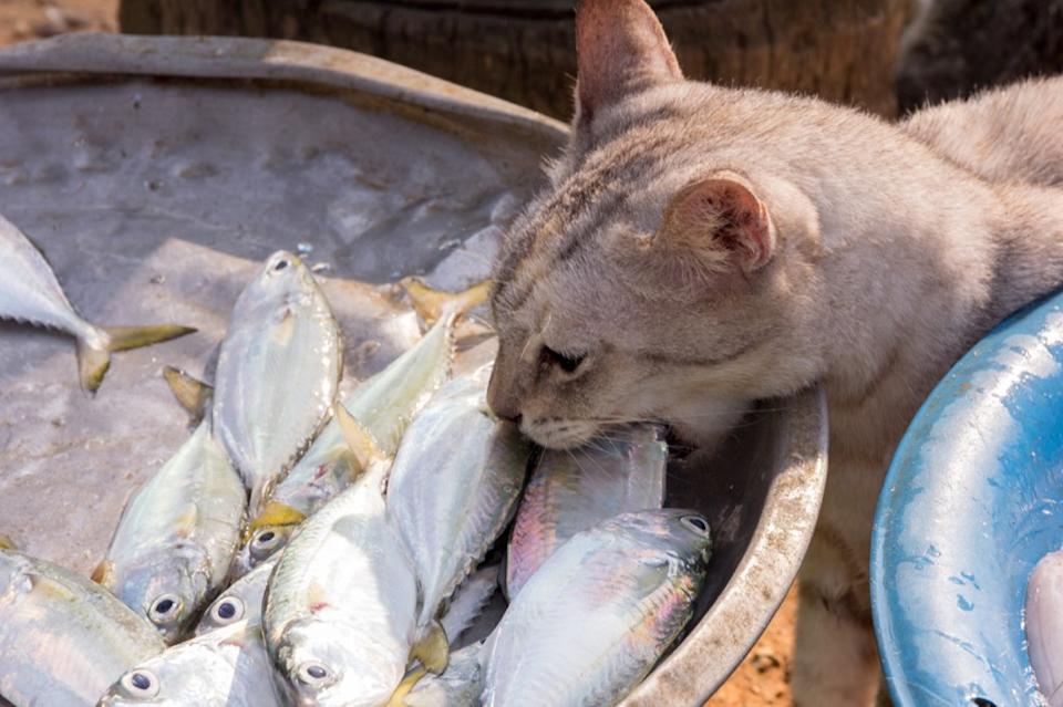 raw fish isn't very good for cats