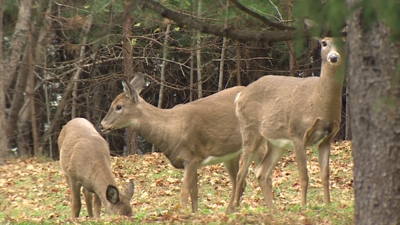Deer hunting to remain off limits in much of northern New Brunswick
