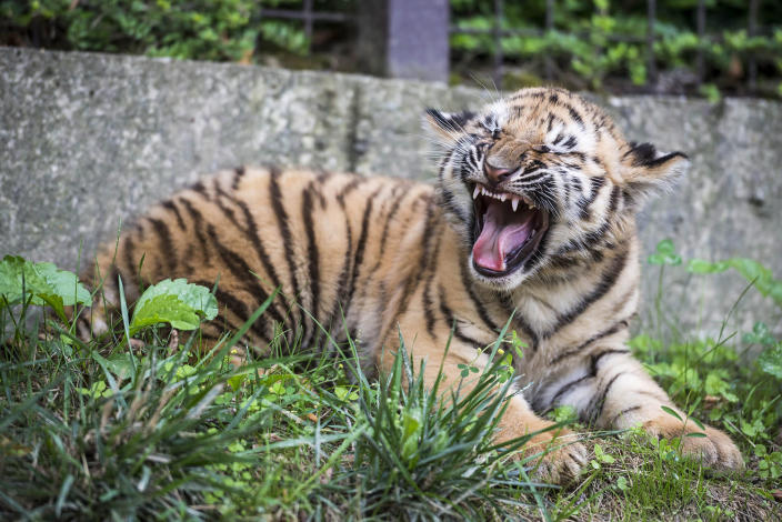 <p>A two-month old Siberian tiger (Panthera tigris altaica) cub snarls in their enclosure in the zoo in Veszprem, 108 kms southwest of Budapest, Hungary, Aug. 3, 2016. (Boglarka Bodnar/MTI via AP) </p>