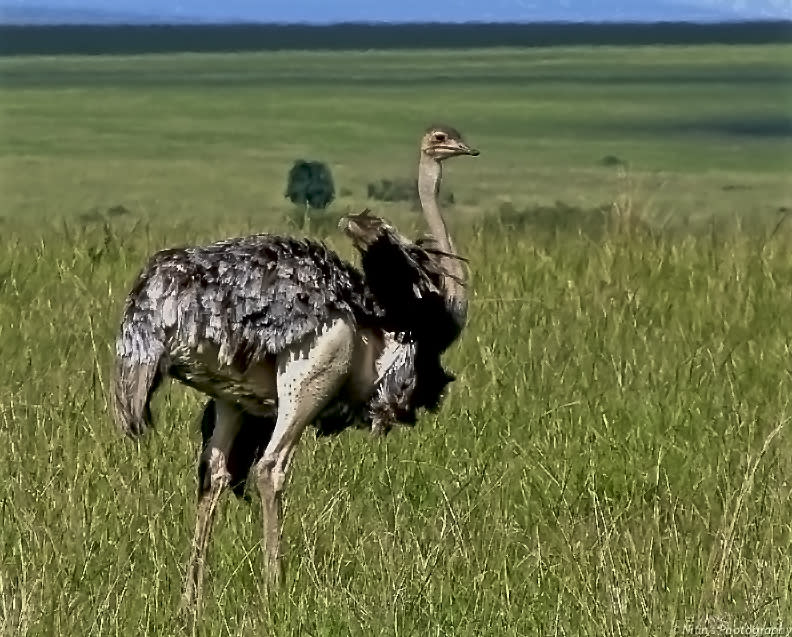 An ostrich at Maasai Mara, Kenya. A flightless bird, the ostrich can run very fast, attaining speeds of 70 km per hour, the fastest land speed for any bird. It is also the largest living bird.