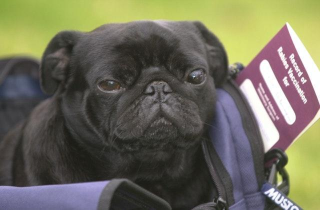 Frodo Baggins the pug and his Pet Passport