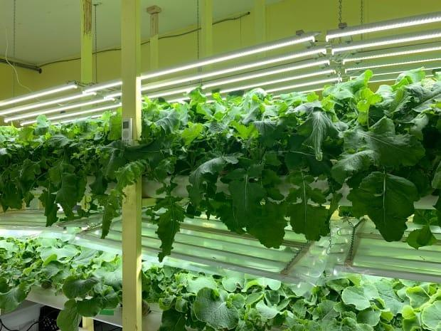 Romaine lettuce is the largest crop grown at Living Water Farm. Dwight says he wanted to focus on produce that was hard to get fresh on the island, even in the summer months.