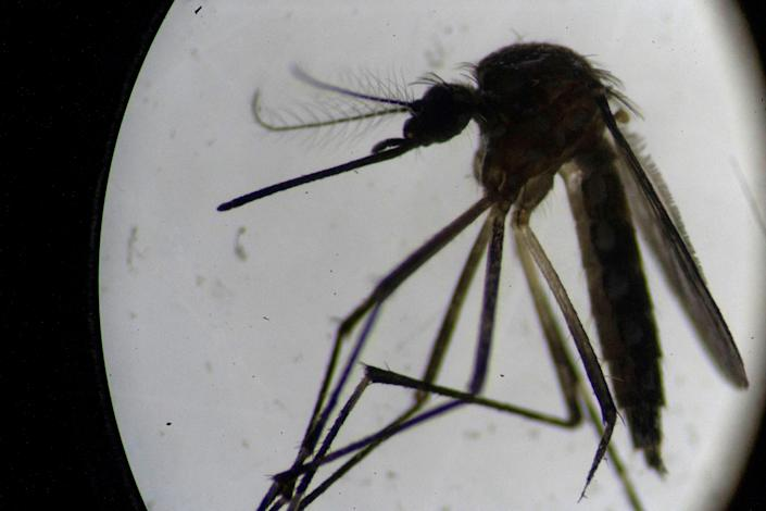 An Aedes aegypti mosquito is seen through a microscope at the Oswaldo Cruz Foundation laboratory in Rio de Janeiro, Brazil, on 14 August 2019 ((Getty images))