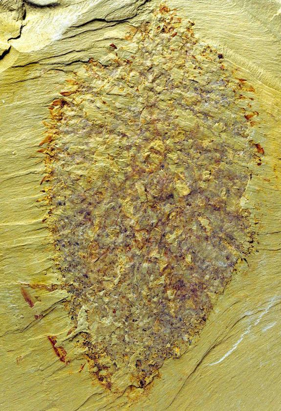 The fossilized remains of Nidelric pugio, measuring about 3.5 inches (9 centimeters) long. In life, this animal was shaped like a balloon, but it collapsed during fossilization, leaving an impression like a bird's nest.