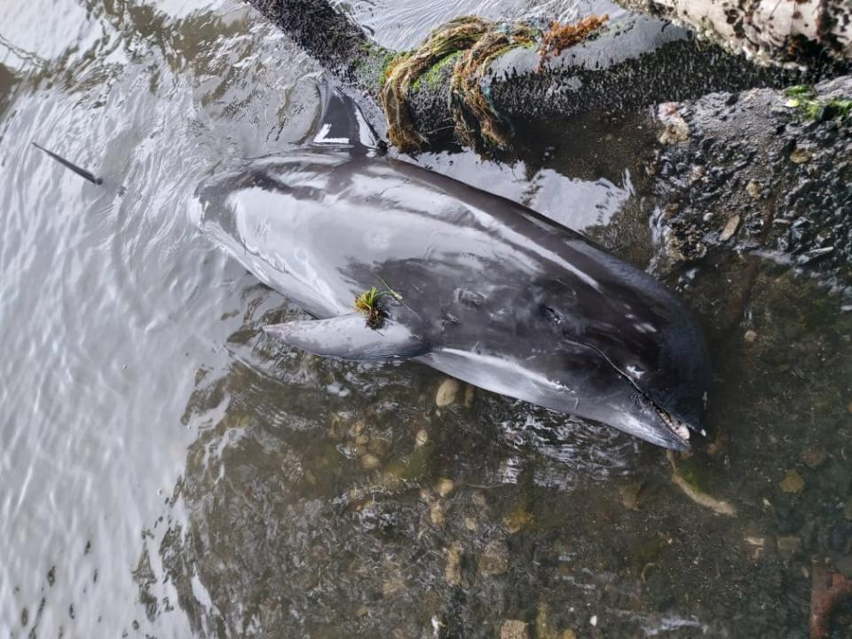 A dead dolphin washed up on a Mauritian beach.