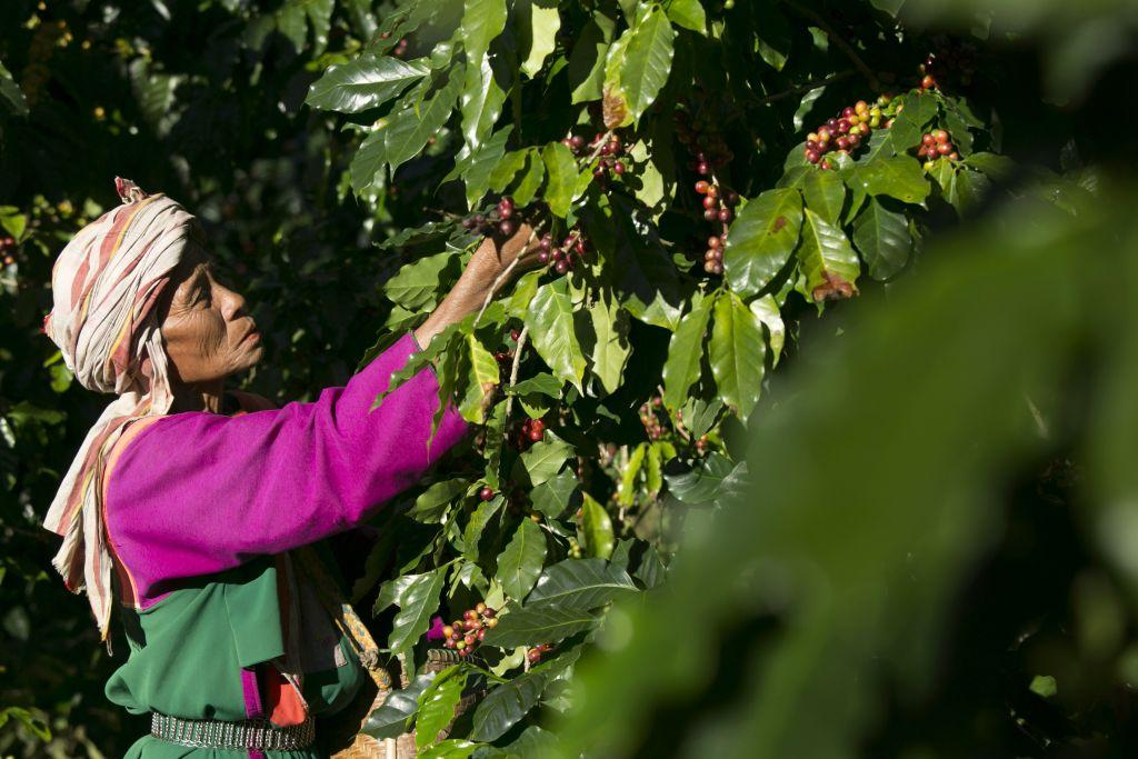 A member of the Lisu hill tribe picks Thai arabica coffee beans at the Thai High coffee farm in Phrao, northern Thailand.