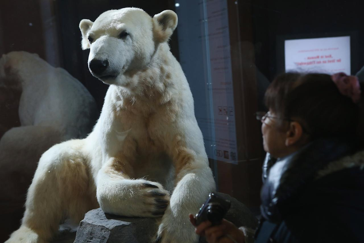 BERLIN, GERMANY - FEBRUARY 16:  A visitor looks at a model of Knut the polar bear, that features Knut's original fur, on the first day it was displayed to the public at the Natural History Museum on February 16, 2013 in Berlin, Germany. Though Knut, the world-famous polar bear from the Berlin zoo abandoned by his mother and ultimately immortalized as a cartoon film character, stuffed toys, and more temporarily as a gummy bear, died two years ago, he will live on additionally as a partially-taxidermied specimen in the museum. Until March 15, the dermoplastic model of the bear will be on display before it joins the museum's archive, though visitors can see it once again as part of a permanent exhibition that begins in 2014.  (Photo by Sean Gallup/Getty Images)