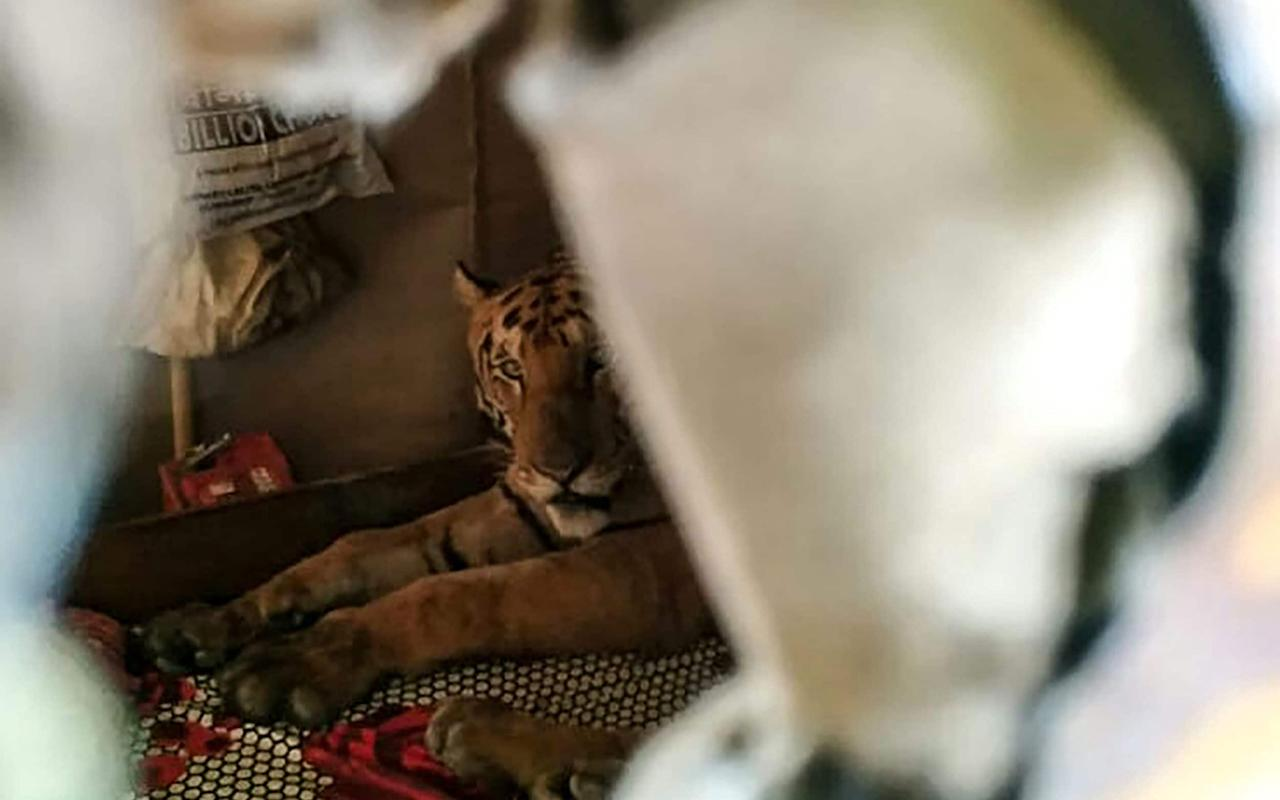 A tiger from the Kaziranga National Park is seen taking shelter in a shop - AFP
