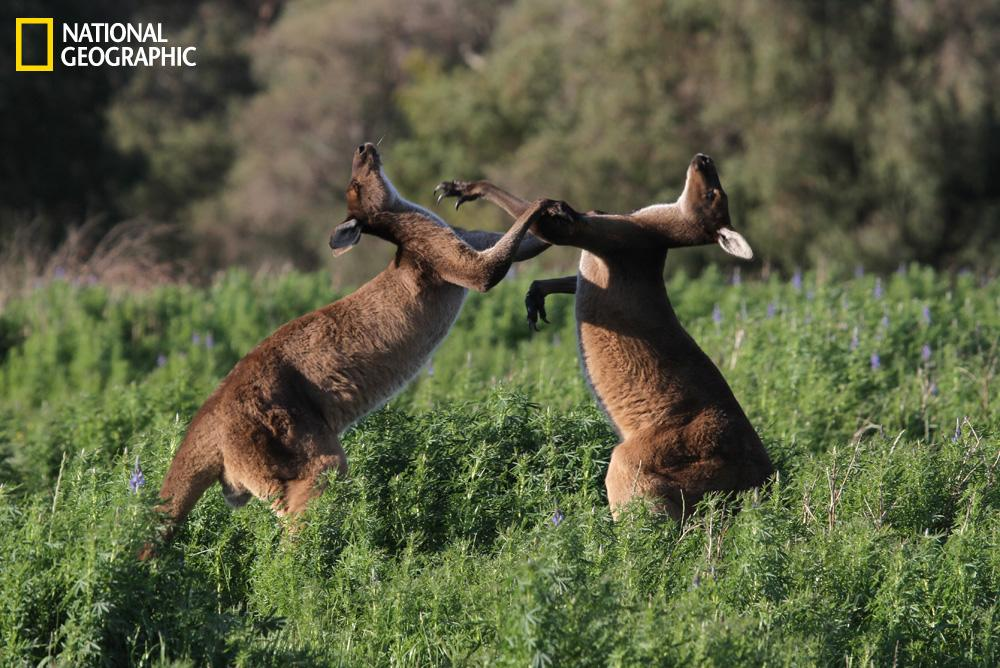 """With the onset of spring, male western grey kangaroos fight to establish their place in the mob."" You can submit your own photos at <a target=""_blank"" href=""http://ngm.nationalgeographic.com/your-shot/your-shot"">nationalgeographic.com</a><a></a>. <br><br>(Photograph Courtesy Robert McLean / National Geographic Your Shot)"