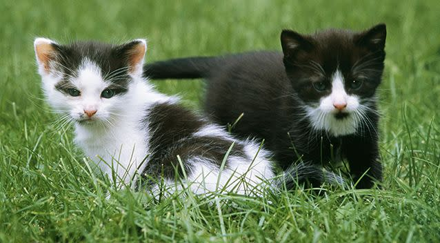 Several kittens in Victoria have been diagnosed with the virus. Source: AAP/File