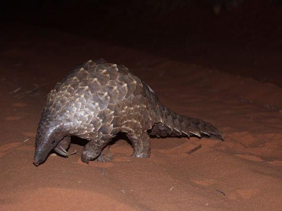 Rare Pangolins May Be Eaten to Extinction, Conservationists Warn