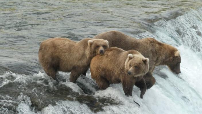 Brown bear cub 128 stands by a riven fattening up before hibernation at Katmai National Park