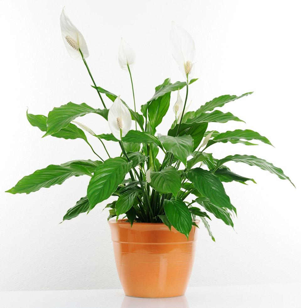 """<p>We can all use a little more peace in our lives, and this easy-to-care for beauty does just that, while removing a wide range of toxins from the air. One caveat: the plant can be harmful if gobbled up by children or pets, so keep it out of reach of anyone curious enough to take a bite.</p><p><a class=""""link rapid-noclick-resp"""" href=""""https://www.amazon.com/AMPLEX-Spathiphyllum-Peace-Gallon-Purifier/dp/B07GRCJ6X5/?tag=syn-yahoo-20&ascsubtag=%5Bartid%7C2141.g.28325586%5Bsrc%7Cyahoo-us"""" rel=""""nofollow noopener"""" target=""""_blank"""" data-ylk=""""slk:SHOP PEACE LILLIES"""">SHOP PEACE LILLIES</a></p>"""