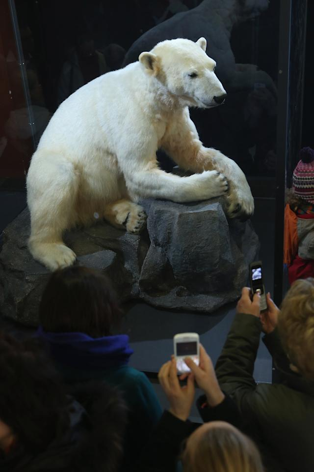 BERLIN, GERMANY - FEBRUARY 16:  Visitors photograph a model of Knut the polar bear, that features Knut's original fur, on the first day it was displayed to the public at the Natural History Museum on February 16, 2013 in Berlin, Germany. Though Knut, the world-famous polar bear from the Berlin zoo abandoned by his mother and ultimately immortalized as a cartoon film character, stuffed toys, and more temporarily as a gummy bear, died two years ago, he will live on additionally as a partially-taxidermied specimen in the museum. Until March 15, the dermoplastic model of the bear will be on display before it joins the museum's archive, though visitors can see it once again as part of a permanent exhibition that begins in 2014.  (Photo by Sean Gallup/Getty Images)