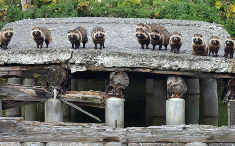Raccoon dogs stand in a broken bridge, expecting a daily feeding, in Sakai, western Japan.  - Credit:  SHIGERU KAWAHARAZAKI/AP