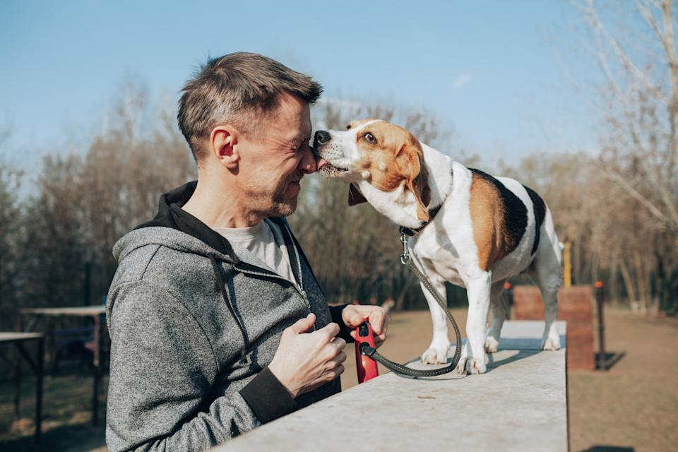 Beagle licking its owner.