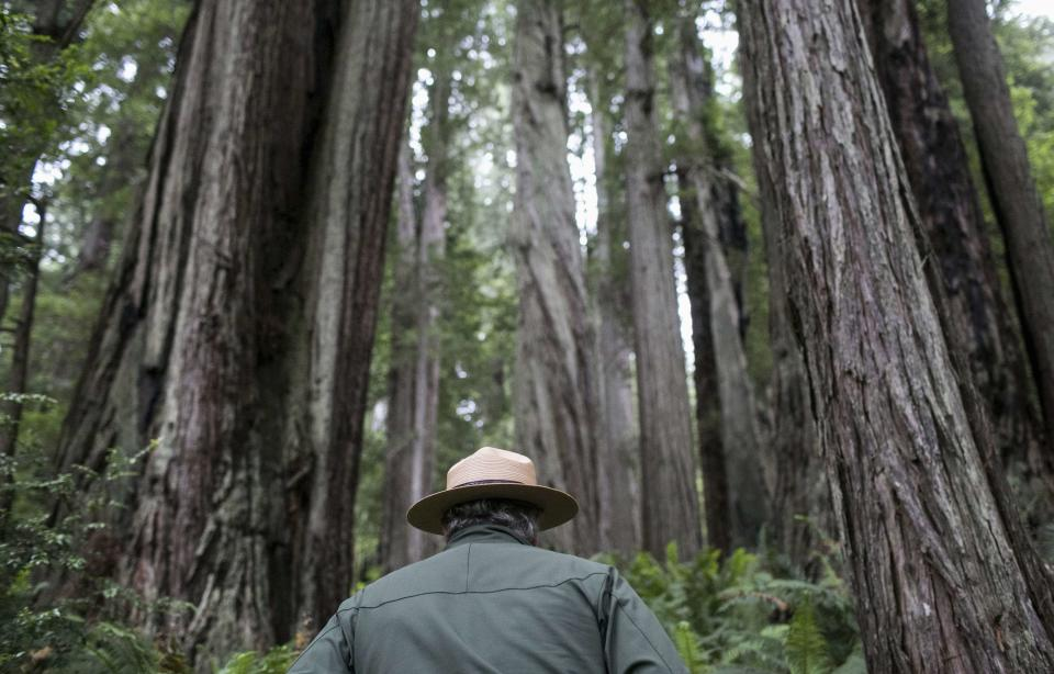 National Park Service Ranger Jeff Denny heads into a grove of redwoods off Highway 101 outside of Orick, California June 3, 2014. Redwood burls are reproductive growths on the tree that can sprout clones and are highly sought after for their unique grain patterns popular in high end furniture and artwork. Recent poaching for redwood burls in the Redwood National Park and Northern California State Parks forced officials to close the Newton B. Drury Scenic Parkway, a ten mile drive through the old growth Redwood forest, after sunset, according to the National Park Service. Picture taken June 3, 2014. REUTERS/Nick Adams (UNITED STATES - Tags: ENVIRONMENT)