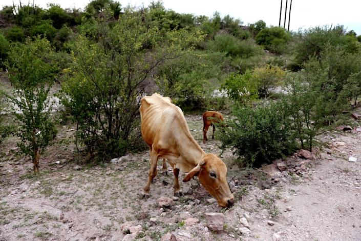 A malnourished cow forages for food