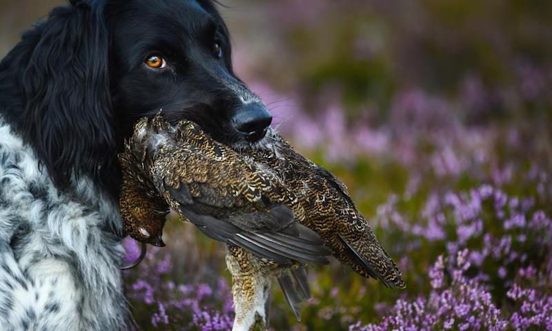 First blood on the 'Glorious Twelfth' at a grouse moor in Aviemore, Scotland, this year.
