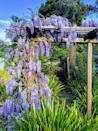 """<p>Wisteria is cold-hardy perennial with lovely, draping flowers that resemble clusters of grapes. The lilac blue flowers are sweetly scented and appear in mid-spring. Be aware: They grow incredibly fast and need a lot of attention to keep from going into unwanted places. It needs full sun. </p><p><a class=""""link rapid-noclick-resp"""" href=""""https://www.greatgardenplants.com/products/amethyst-falls-wisteria?variant=37358130561191¤cy=USD&gclid=CjwKCAjwv_iEBhASEiwARoemvFCBfmPweBe0vFRC_8AszgEbB7UmLwgq5gJn0hx6zIHbW-JAA3FPYRoCRocQAvD_BwE"""" rel=""""nofollow noopener"""" target=""""_blank"""" data-ylk=""""slk:SHOP WISTERIA PLANTS"""">SHOP WISTERIA PLANTS</a></p>"""