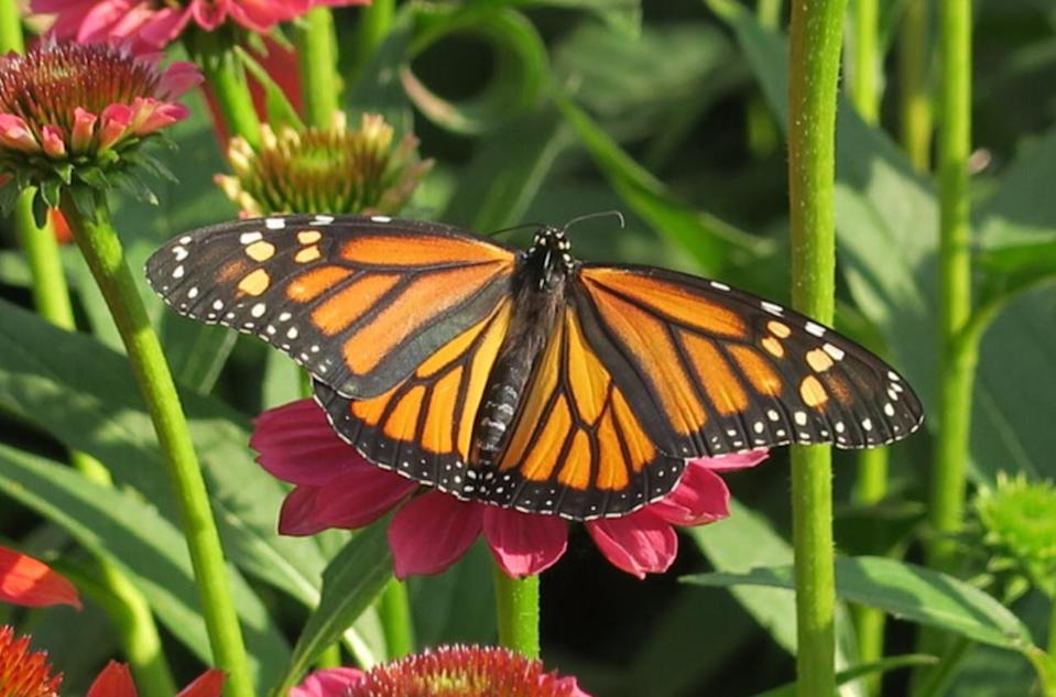 Get ready: The monarchs are coming