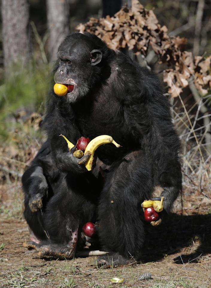 FILE - This Feb. 19, 2013 file photo shows a chimp gathering food at Chimp Haven in Keithville, La. Two different studies looking at why monogamy evolved in some species, pointed at separate reasons. Gibbons are one of the monogamous species among the world's mammals and chimpanzees are at the other end of the spectrum and wildly promiscuous, said anthropology researcher Kit Opie of University College London, an author of one of the studies. (AP Photo/Gerald Herbert, File)