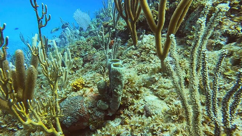 View of a coral colony in Havana