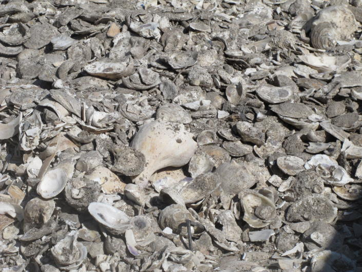 This June 29, 2021 photo shows a pile of oyster, clam and whelk shells drying in the sun in Port Republic, N.J. The shells are collected from restaurants in Atlantic City, dried, and placed into the Mullica River, where they become the foundation for new oyster colonies as free-floating baby oysters attach to them and start to grow. Communities around the world are running similar shell recycling programs. (AP Photo/Wayne Parry)