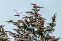 Desert locusts cover the tree tops in Meru, Kenya. The insects are pink in this early stage of development - and at their most voracious