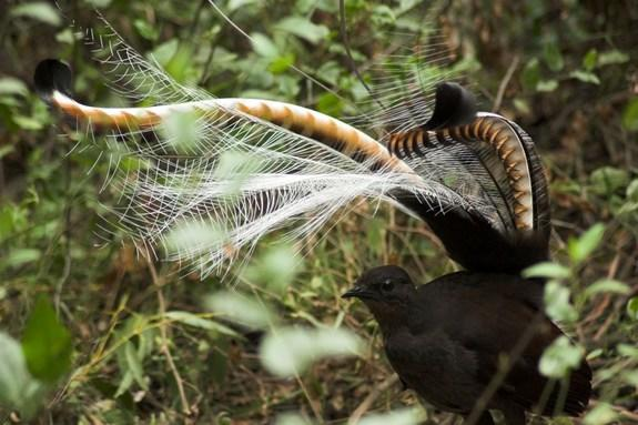 During their mating songs, male superb lyrebirds invert their tail over their head.
