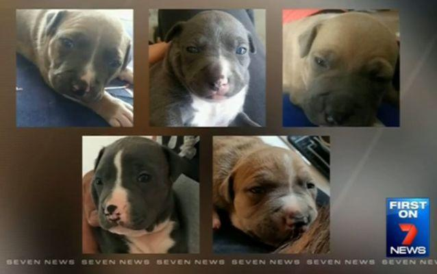The purebred Amercian Staffordshire Terriers are worth around $2,000 each. Source: 7 News.