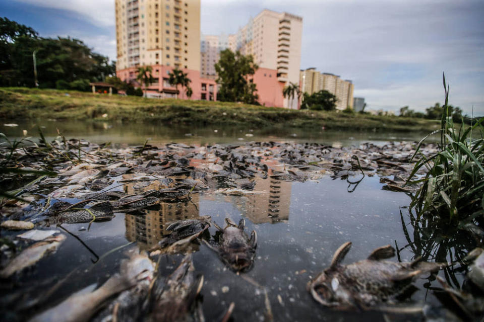 Freshwater fish that died in a river near Section 13 Shah Alam June 23, 2021. ― Picture by Hari Anggara