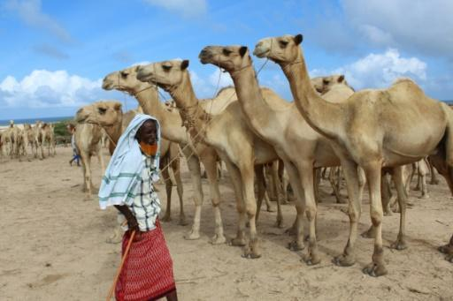 A man sells camels at El Hirka Dhere livestock market in Mogadishu, a day before the Muslim festival Eid Al-Adha, the feast of the sacrifice