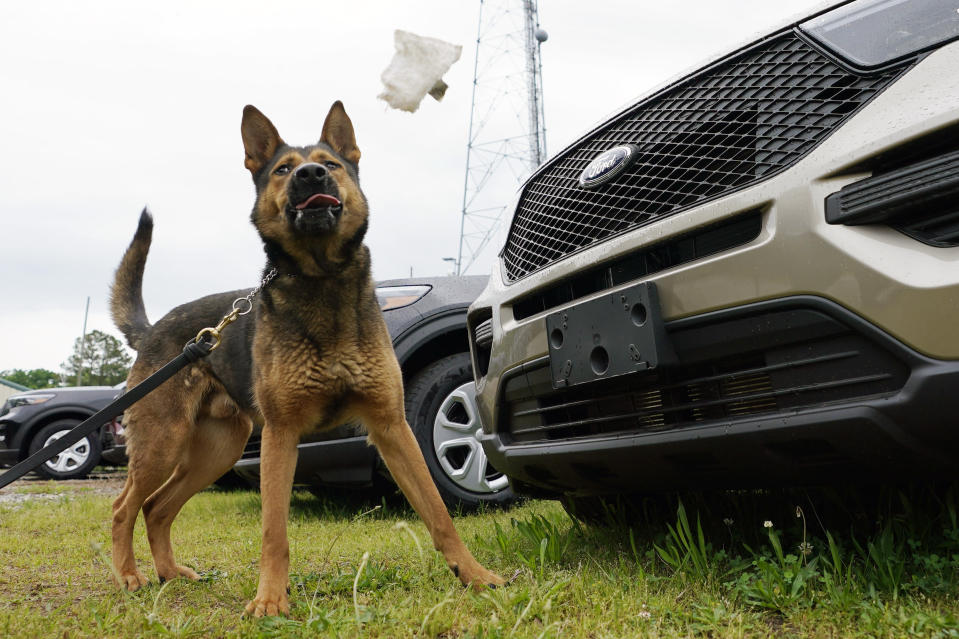 Virginia State Police K-9, Aries, detects and tosses a test rag during a training exercise at State Police headquarters in Richmond, Va., Monday, May 10, 2021. Drug-sniffing police dogs from around Virginia are being forced into early retirement as the state prepares to legalize adult recreational use of marijuana on July 1. (AP Photo/Steve Helber)