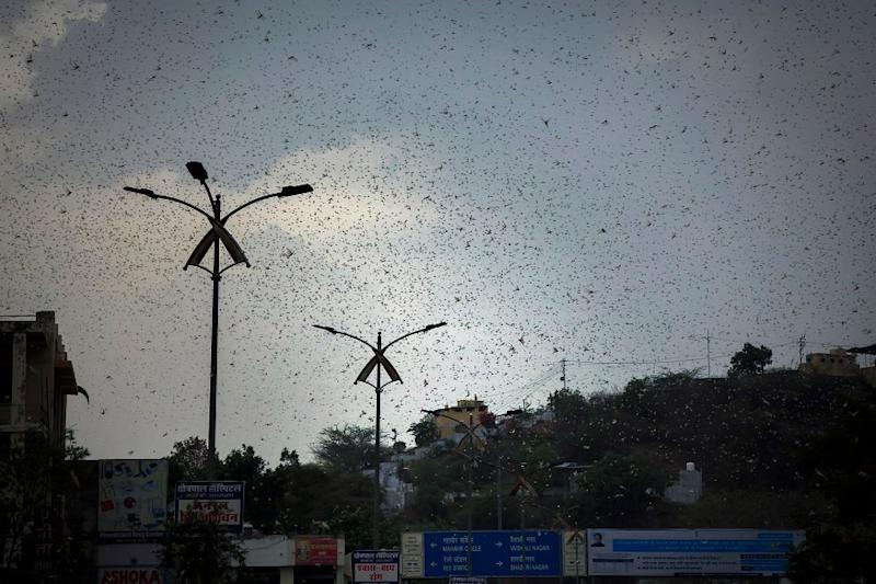 Locusts Would Not Have Spread if Rajasthan had Cooperated: Union Minister Kailash Choudhary
