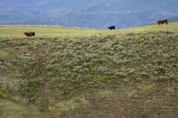 Cows graze on a field at the Stanko Ranch, Wednesday, July 14, 2021, near Steamboat Springs, Colo. Jim Stanko says due to drought conditions this year, he may have to sell some of his herd if he can't harvest enough hay to feed them. (AP Photo/Brittany Peterson)