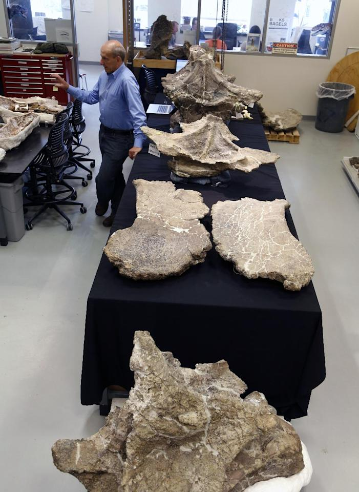 In this Aug. 26, 2014 photo, Paleontologist Kenneth Lacovara works in a lab near vertebrae from a Dreadnaughtus schrani at Drexel University in Philadelphia. The immense dinosaur from Patagonia is slated to be introduced to the scientific community Thursday, Sept. 4, 2014. Scientists hope its unusually well-preserved bones will help reveal secrets about some of the largest animals ever to walk the Earth. The four-legged beast with a long neck and tail weighed an estimated 65 tons and stretched about 85 feet long. (AP Photo/Jacqueline Larma)