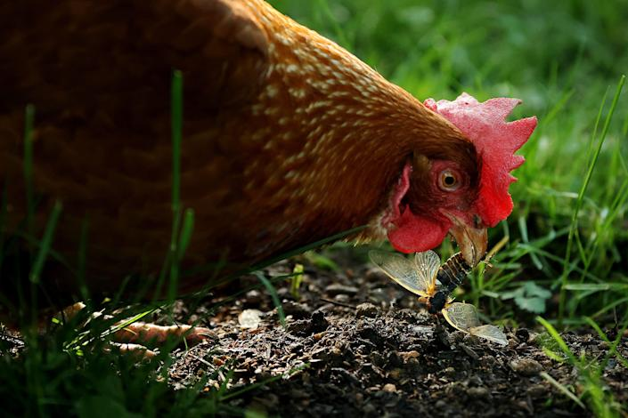 Annie, a domesticated Rhode Island red chicken, eats a newly molted periodical cicada in the front yard of her owner's home. Backyard poultry, including chickens, has been linked to a salmonella outbreak in the USA.