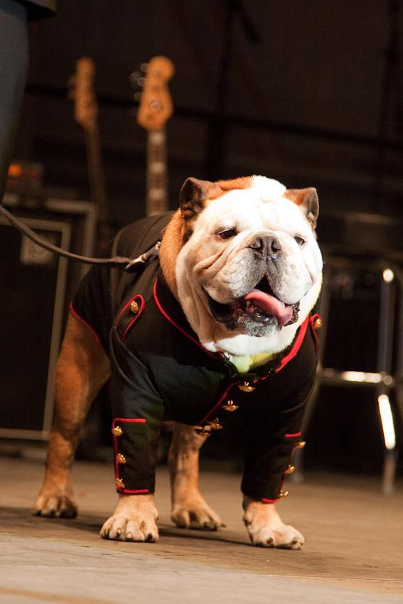 This Saturday, Oct. 27, 2012 photo provided by Natural Balance and Thedogphotographer.com shows the bulldog, Tillman, being inducted as an honorary Marine, Private 1st Class, on stage at Sky Ball in the American Airlines Hangar at the Dallas/ Fort Worth International Airport, in Dallas, Texas. (AP Photo/Natural Balance, The Dog Photographer)