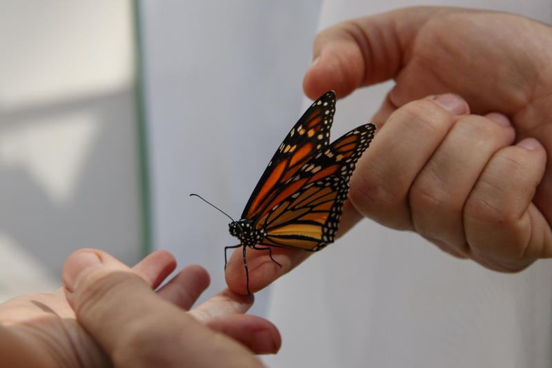Laura Moore directs a fresh new monarch butterfly from her finger to her 3-year-old neighbor Thomas Powell in her Greenbelt, Md., yard, Friday, May 31, 2019. Despite efforts by Moore and countless other volunteers and organizations across the United States to grow milkweed, nurture caterpillars, and tag and count monarchs on the insects' annual migrations up and down America, the butterfly is in trouble. (AP Photo/Carolyn Kaster)